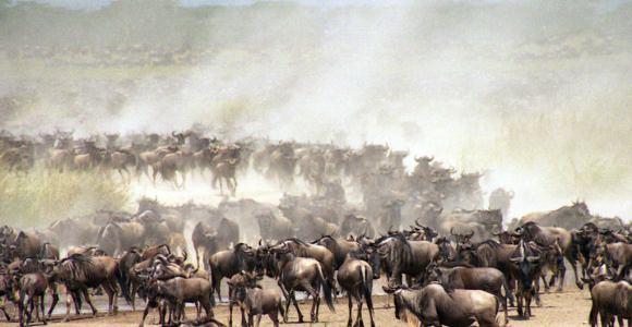 De grote 'migratie' door de Serengeti en Masai Mara