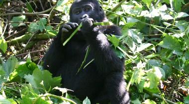 Ontmoet de gorilla's in Oeganda