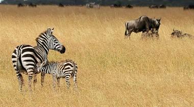 Fotosafari Tanzania kalfseizoen