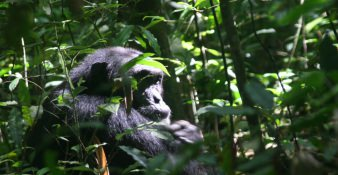 Chimpansees zoeken in Kibale Forest Nationaal Park